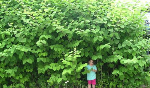 japanese-knotweed_0