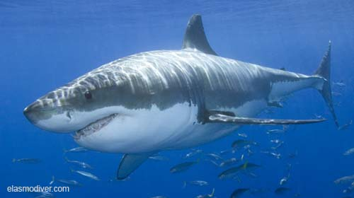 Great White Shark Carcharodon carcharias Guadalupe Island, Baja, Mexico, Eastern Pacific